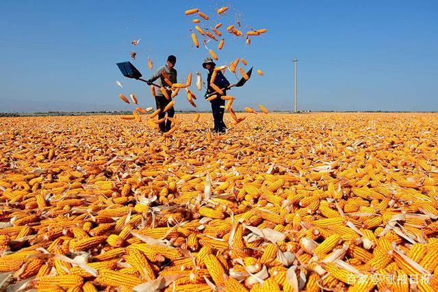 河南周末大范围降雨 气温将骤降10℃ 适当推迟夏玉米收获以提高产量