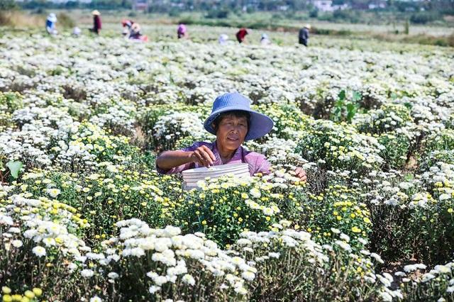 河南光山:菊花喜丰收
