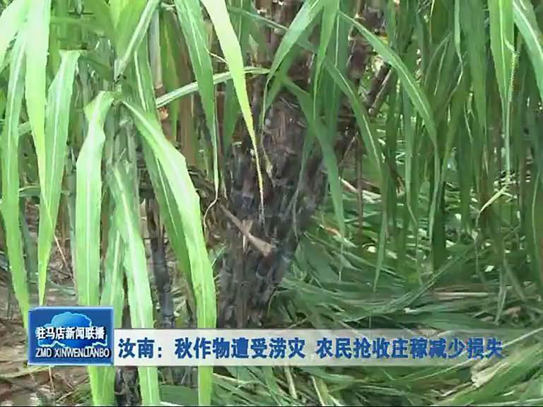 秋作物遭受旱涝 农民抢收庄稼减少损失
