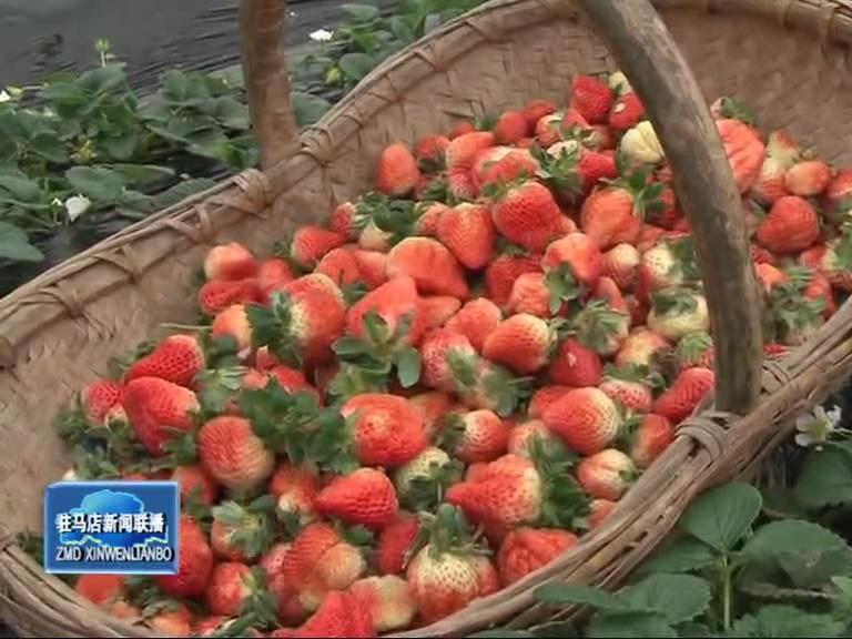 盘古乡草莓种植让农民走上致富路