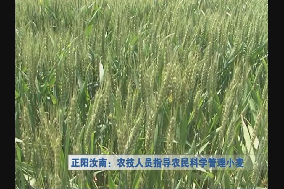 正阳汝南:农技人员指导农民科学管理小麦
