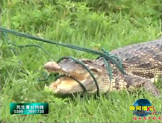 鳄鱼惊现汝河遂平段
