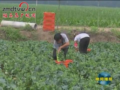西平:种植无公害蔬菜 直供港澳地区